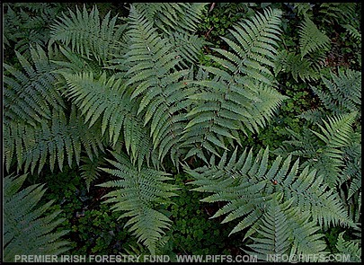 Dryopteris affinis / The Scaly Male Fern.